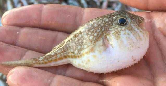 """Balon balığının """"ilaç için"""" ihraç edileceği haberi balıkçıları sevindirdi"""
