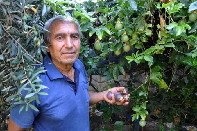 Gazipaşa'da passiflora meyvelerini 100 liradan satışa çıkardı