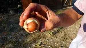 Şaşkınlık veren olay! Yumurtanın içinden yumurta çıktı