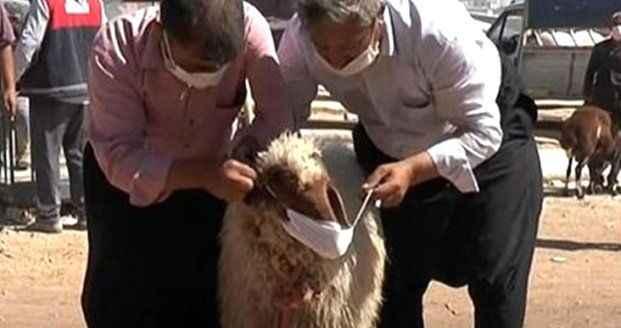 Kurban pazarında ilginç görüntüler! Koronadan korunmak için koyuna maske taktı
