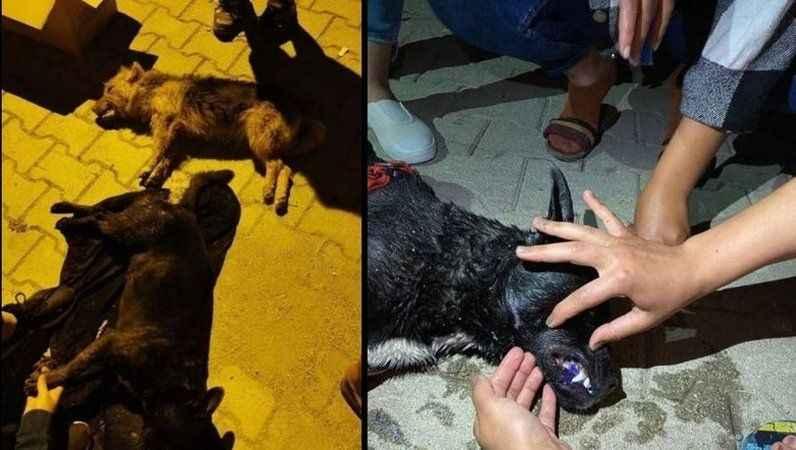 Vahşet! 5 sokak köpeği zehirlenerek öldürüldü