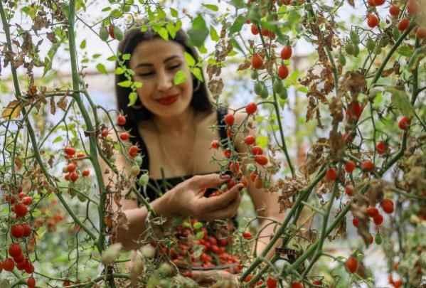 Antalya'da tek domatesten ürettiği tohumlarla, 4 dönümlük sera kurdu