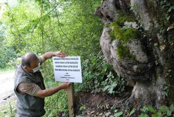 Ağaçtaki deseni gören hayran kalıyor! Orman İşletme Şefliği koruma altına aldı