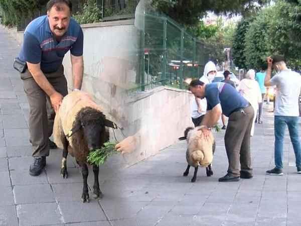 İnatçı koyun, tam 3,5 saat uğraştırdı!
