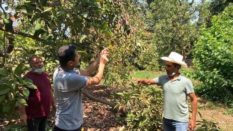 Alanya'da avokado üreticisinin en büyük sıkıntısı hırsızlar