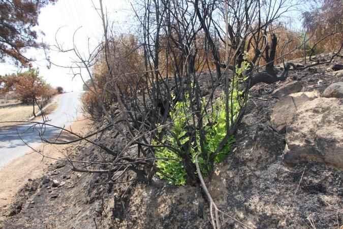 Manavgat'ta yanan ormanlık alanlar yeşillenmeye başladı
