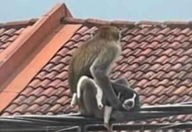 Ülkenin başı maymun çeteleriyle dertte! Evcil hayvanları kaçırmaya başladılar