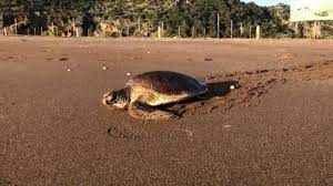 Antalya'da tedavisi tamamlanan deniz kaplumbağaları yaşam alanlarına bırakıldı