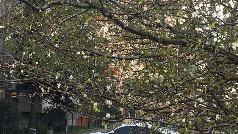 Erik ağacı mevsimleri şaşırdı