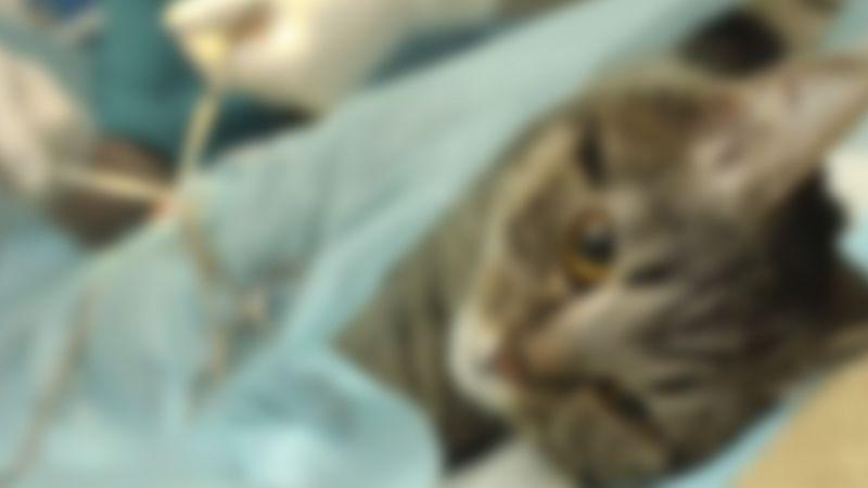 Kısırlaştırılmaya verilen kediyi kaybettiler