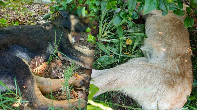Plajyolu'nda iki yavru köpek zehirlendi