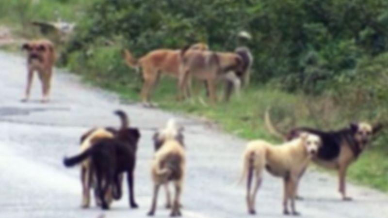Yuvam Akarca'da köpek terörü esiyor