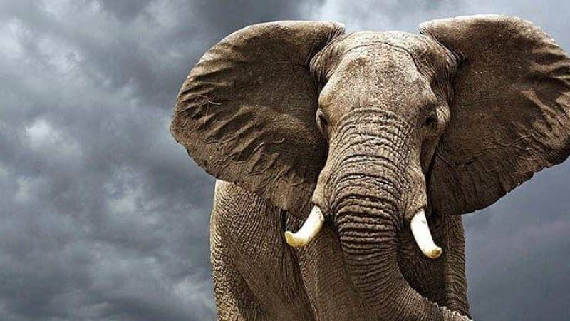 Küresel ısınma yüzünden fillerin kulakları büyüdü