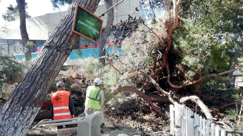 Devrilen ağaç çay bahçesine zarar verdi
