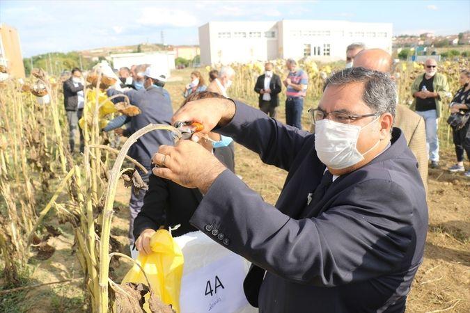 GTÜ'de ayçiçeği hasadı yapıldı