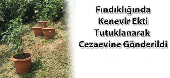 Fındıklığında Kenevir Ekti, Tutuklandı