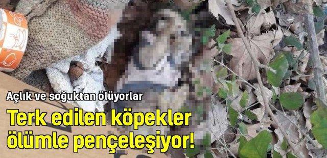 Terk edilen köpekler ölümle pençeleşiyor!