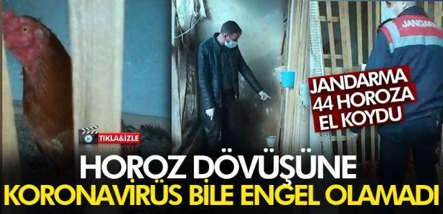 Horoz dövüşüne Koronavirüs engel olamadı