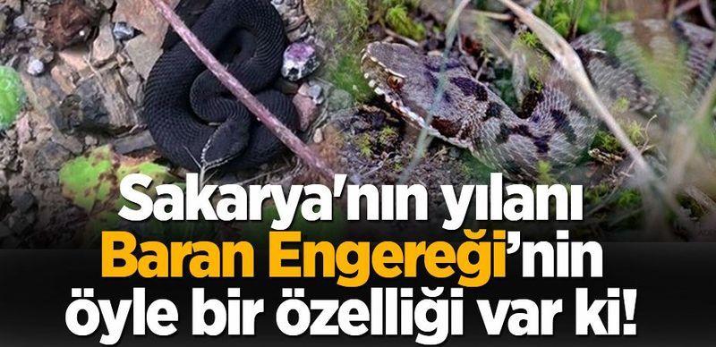 Sakarya'nın yılanı; 'Baran Engereği' Öyle bir özelliği var ki!