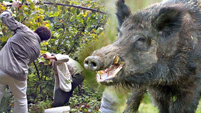 Fındık toplarken domuz saldırdı!