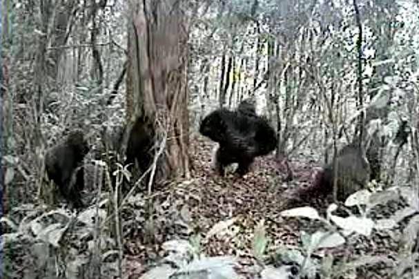 Dünyanın en ender goril türü ilk kez görüntülendi