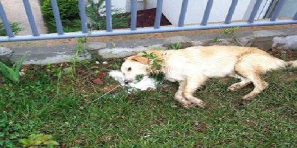 Kim bu köpek katilleri?