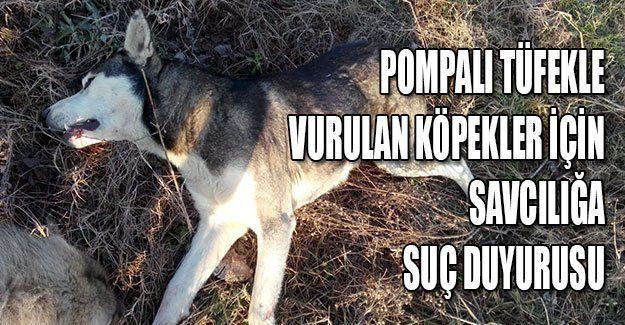Pompalı tüfekle vurulan köpekler için savcılığa suç duyurusu
