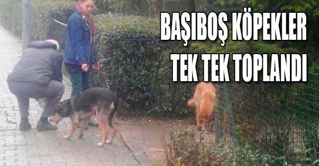 Başıboş köpekler tek tek toplandı