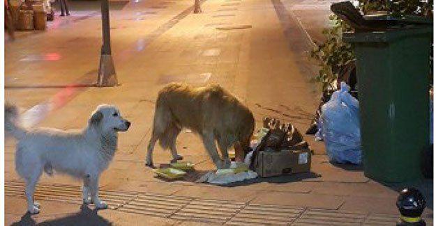 Çöp poşetlerini sokak köpekleri didikliyor