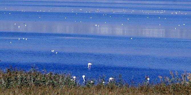İzmit Körfezi'ne flamingo akını