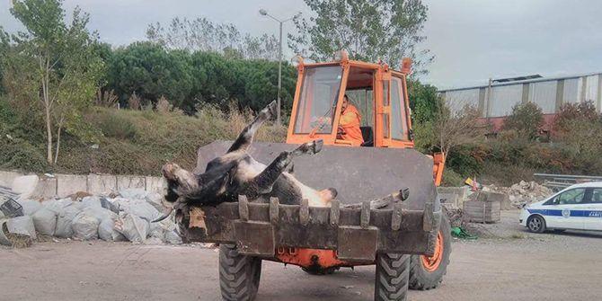 Telef olan inekleri ceza korkusuyla sahiplenen çıkmadı