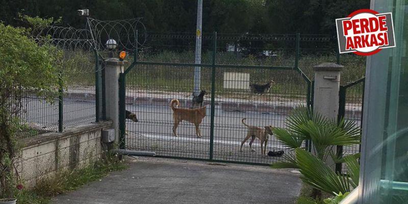 Köpek sürüleri endişelendiriyor
