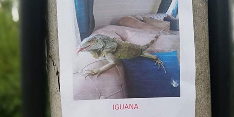 Kaybolan iguanayı bulana ödül verilecek