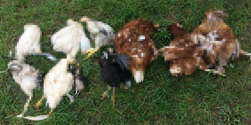 Aç kalan köpekler tavukları telef etti
