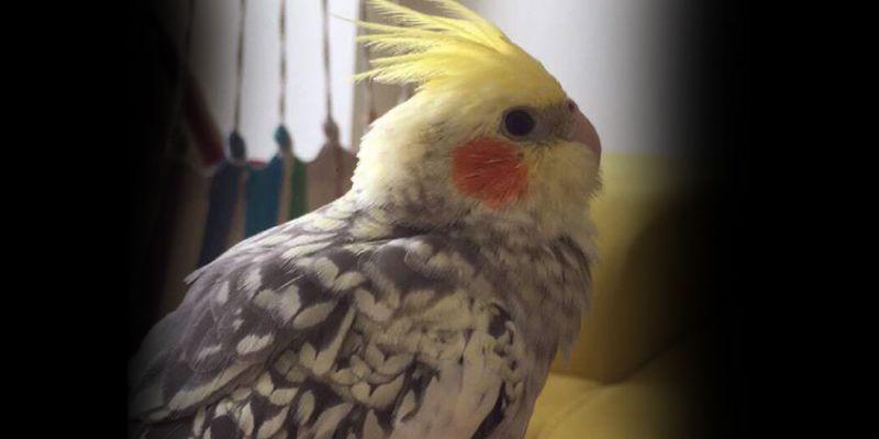 Kayıp kuşu için ilan verdi