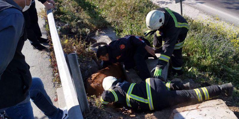 Çukura düşen inek kepçe yardımıyla kurtarıldı