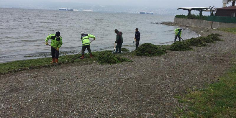 Kocaeli sahilleri yosunlardan temizleniyor