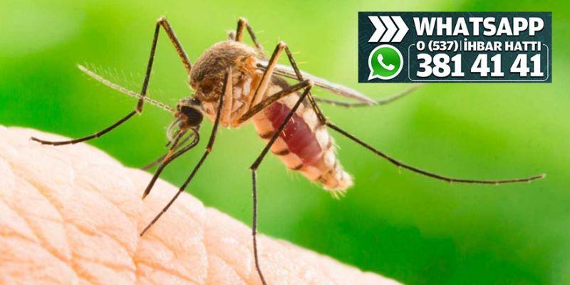 Köseköy'deki dere sivrisinek kaynıyor!