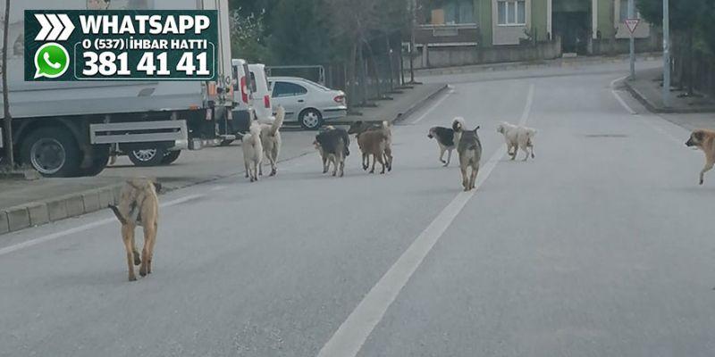Sokak köpekleri korkutuyor