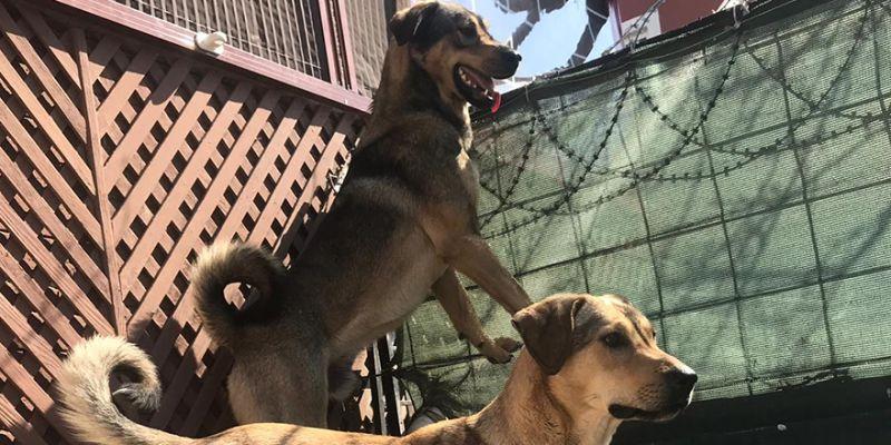 İki köpek 1 aydır kayıp!