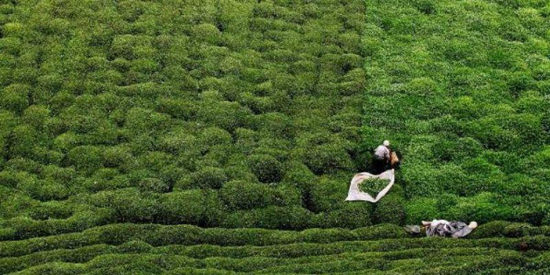 Bakanlıktan 'çay üreticileri' için genelge