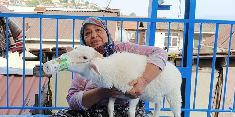 Onun adı Paşa! Fatma Teyze kuzusunu torunlarından ayırmıyor