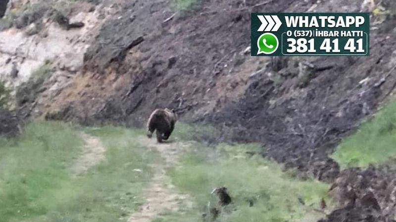 Çenedağ'daki ayılara dikkat