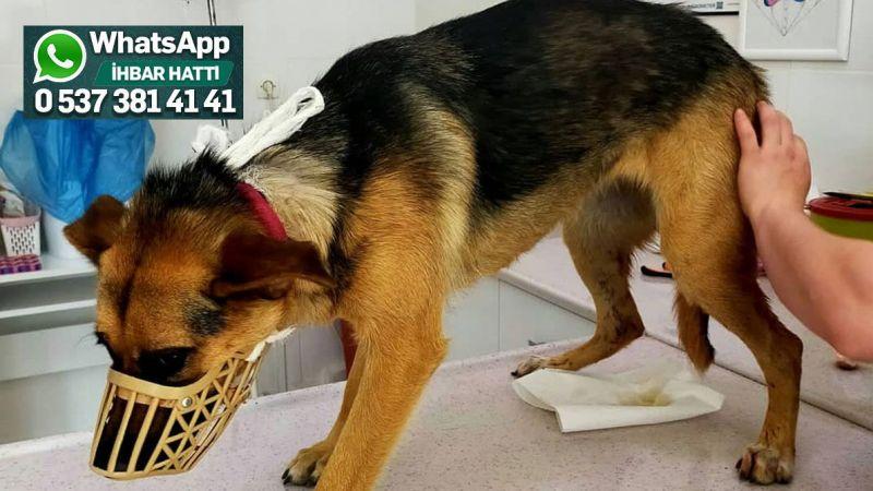 Vicdansızlar köpeği bıçaklayıp kaçtı