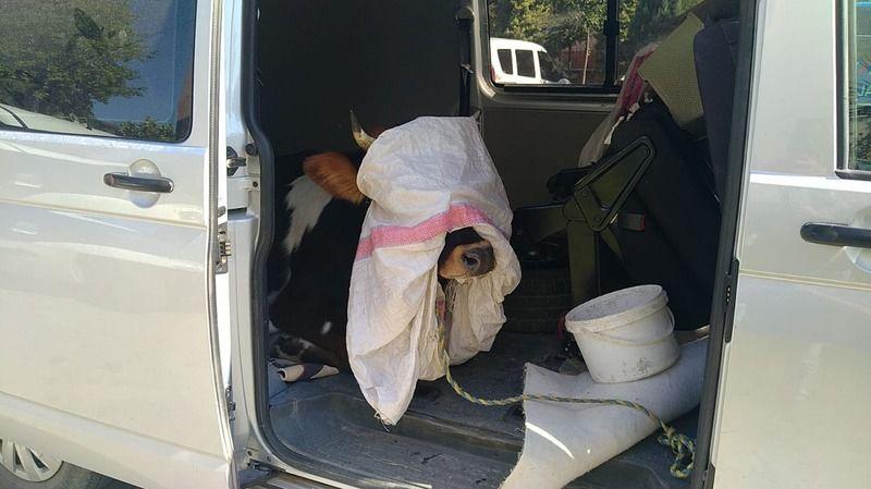 Polisin durdurduğu araçtan, çalınan gebe inek çıktı
