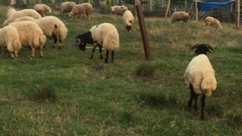 Çalıntı kamyonetle 20 koyunu çaldı