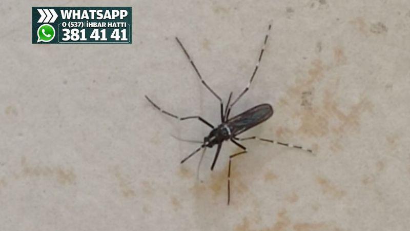 Asya kaplan sivrisineği İzmitlileri tedirgin ediyor