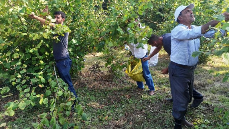 Kandıra'da fındık işçilerinin günlük yevmiyeleri belirlendi