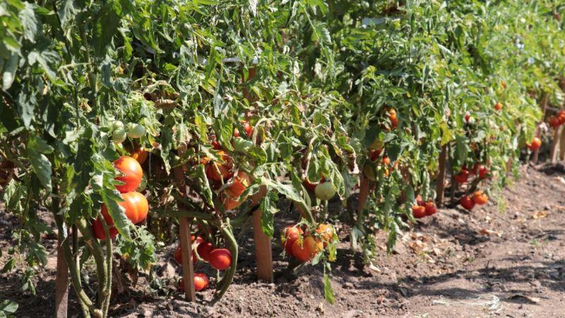 Kocaeli'de ata tohumları ilk mahsullerini verdi