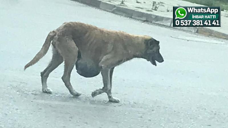 Rehabilitasyon merkezi etrafındaki köpek için yardım isteniyor